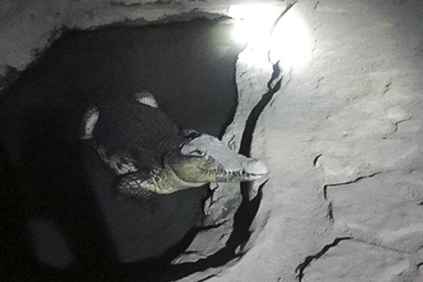 Krokodíl v pivnici pokojne ležal v menšej priehlbni naplnenej vodou, ktorú majiteľ domu vyhĺbil do betónu.