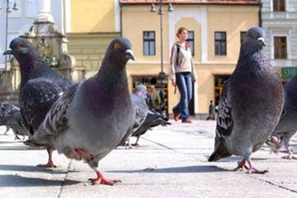 Holuby sú neodmysliteľnou súčasťou námestia v Banskej Bystrici.