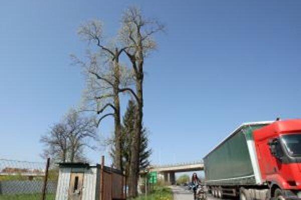 Zdravotný stav cenných chránených stromov sa zhoršuje