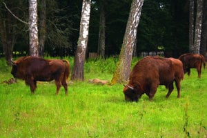 Zubry európske (lesné) žijúce v zajatí v Bielovežskej rezervácii.