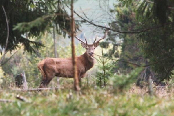 Slovenské jelene z Poľany sú skutočným pokladom.