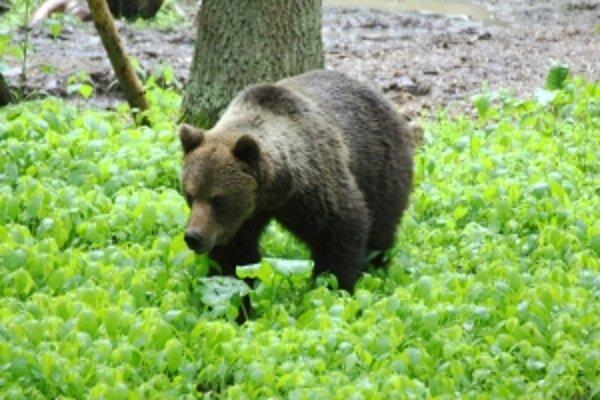 Tohto medveďa videli pozorovatelia v piatok pri Očovej.