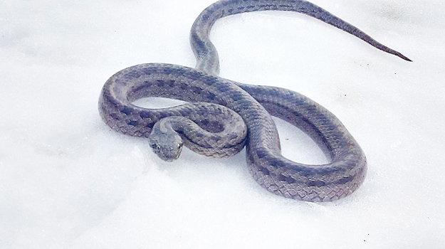 Vretenica bola na studenom snehu stuhnutá.