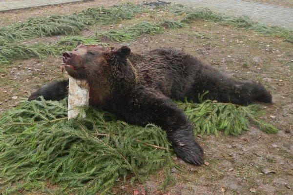 Medveďa výstrely poľovníkov usmrtili.