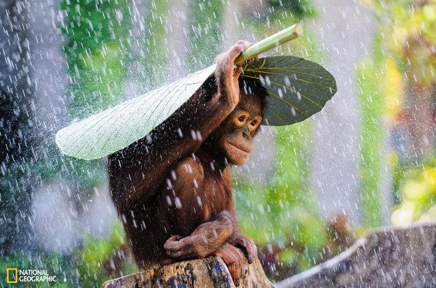 Orangután sa chráni pred dažďom odtrhnutým listom.