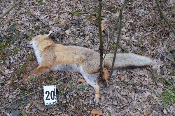 Medzi otrávenými boli i 2 jedince poľovnej zveri líšky hrdzavej.