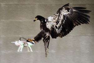 V Holandsku trénujú orly, aby vedeli zneškodniť nebezpečný dron.