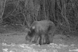 Medvede zachytený fotopascou.