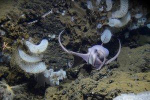 Chobotnica z rodu muusoctopus sa plaví pozdĺž morského dna. Nájdené chobotnice patria do neznámeho druhu.