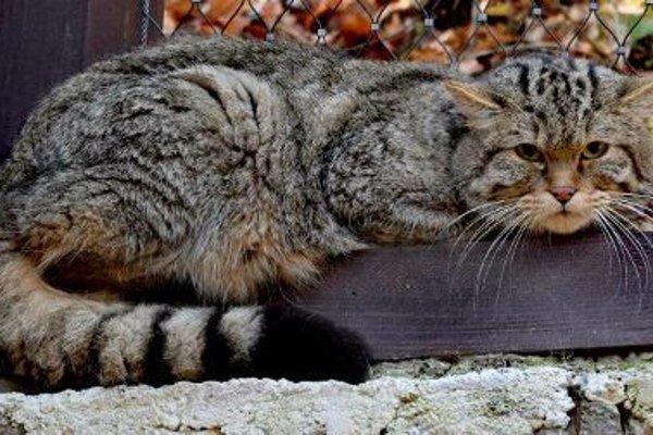 Mačka divá.