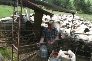 Sviatok – nesviatok, robiť sa musí. Na pasienkoch pri Folkušovej sa dojili ovečky.