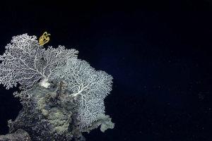 Žltá ľaľiovka (ostnatokožec) na vzácnom korale Corallium niobe.