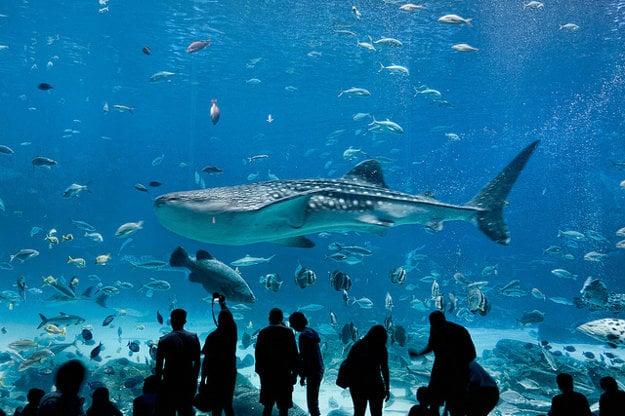 Žralok veľrybý v Georgia Aquarium.