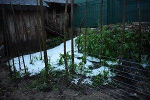 Z týchto paradajok už po hojenej nádielke ľadových krúpov už nič nebude.