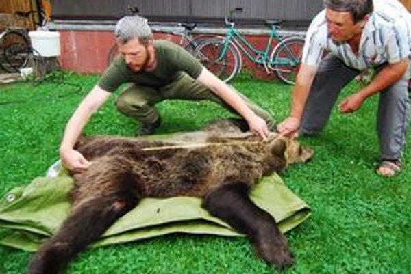 Zoológ Správy národného parku Malá Fatra Michal Kalaš meria zrazeného medveďa.