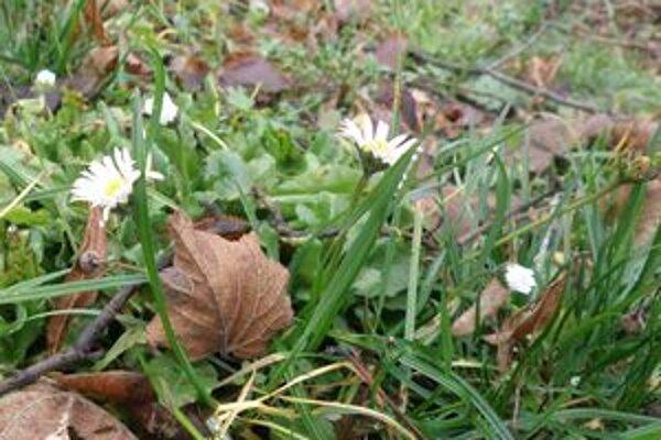Rozkvitnuté sedmokrásky bolo možné vidieť minulý týždeň aj v parku pri Budatínskom hrade.