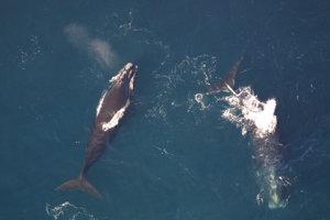 Veľryba biskajská kedysi mohla žiť aj v Stredozemnom mori.