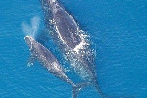 Veľryba biskajská s mláďaťom.