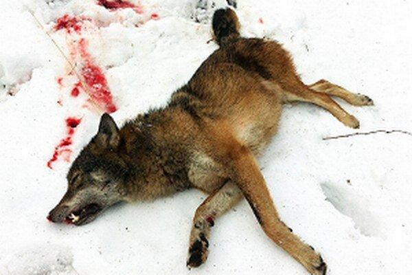 Tohto vlka ulovili v poľovnom revíri Námestova.