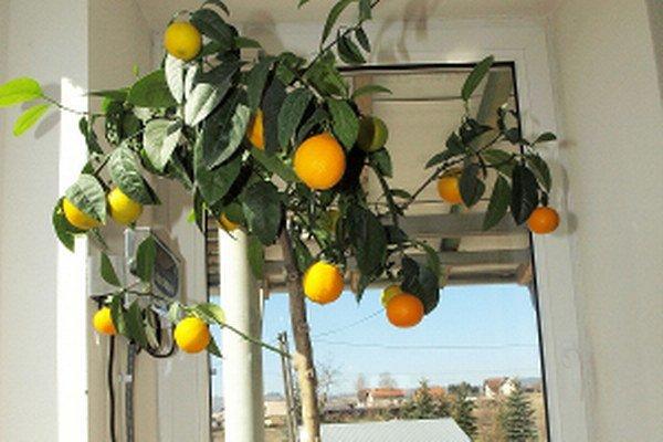 Dozreté oravské mandarínky chutia úplne inak, ako tie z ďalekých trópov.