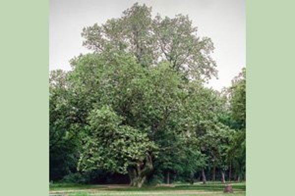 Platan javorolistý z Komjatíc - Strom roka 2012