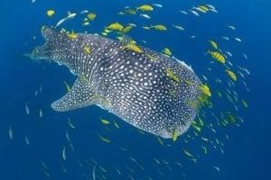Žralok veľrybí je najväčšou rybou na svete.