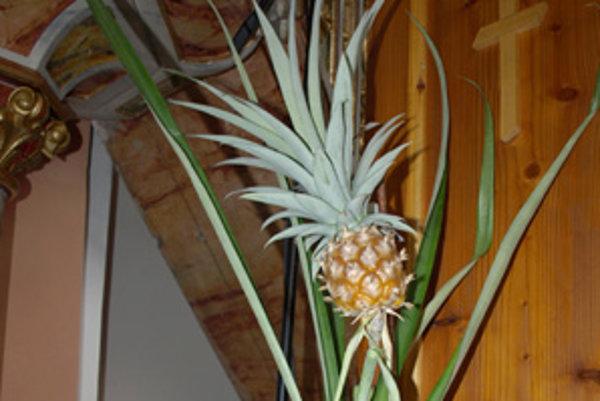 Tichoňovci už ani neverili, že im ananás niekedy zarodí. Prekvapil ich, podobne ako ostatných dedinčanov, ktorí ho obdivovali v kostole.