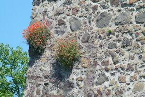 Náletové rastliny na hradnom múre.