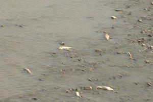 Uhynuté ryby v Laborci.