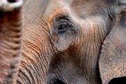 Slony majú viac buniek ako ľudia, napriek tomu ich rakovina postihuje menej často.