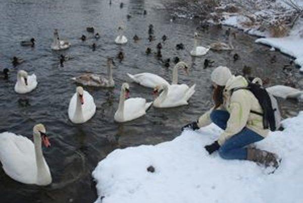 Na rieke Orava zimuje množstvo vodných vtákov.
