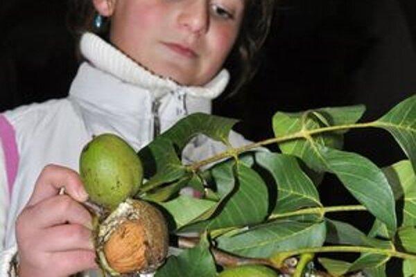 Oravskobielopotocká úroda vlašských orechov.