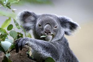 Koaly v Novom Južnom Walese sú v ohrození.