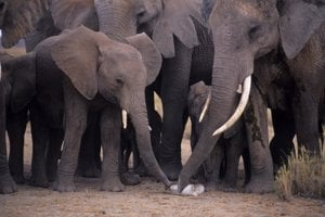 Slony skúmajú kus slonoviny.