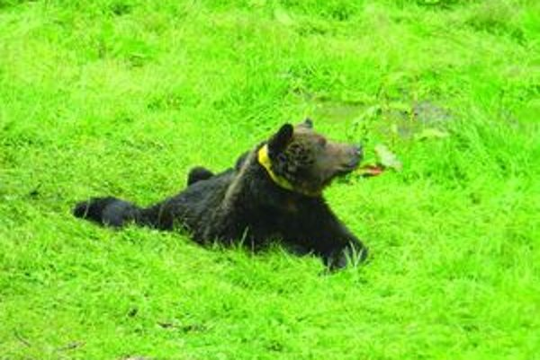 Ochranári chcú označiť 15 medveďov žijúcich v prirodzenom prostredí.
