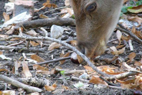 Gaštany hádžu zvieratám do zvernice návštevníci parku.