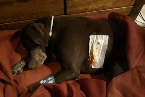 Zranený psík prežil útok diviaka.