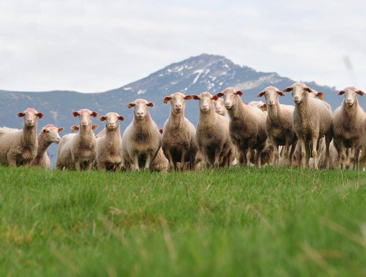 4c1bab42ba0 Chov oviec v podhorských oblastiach.