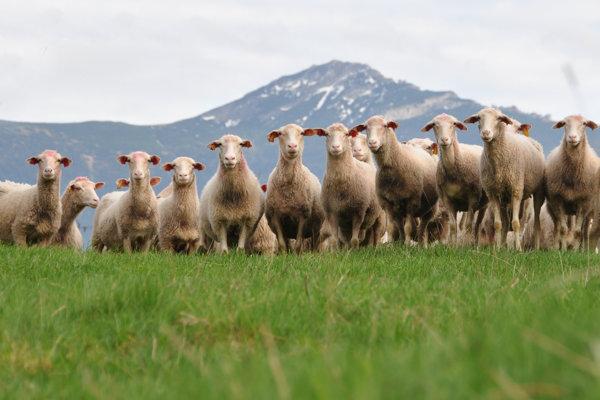 Chov oviec v podhorských oblastiach.