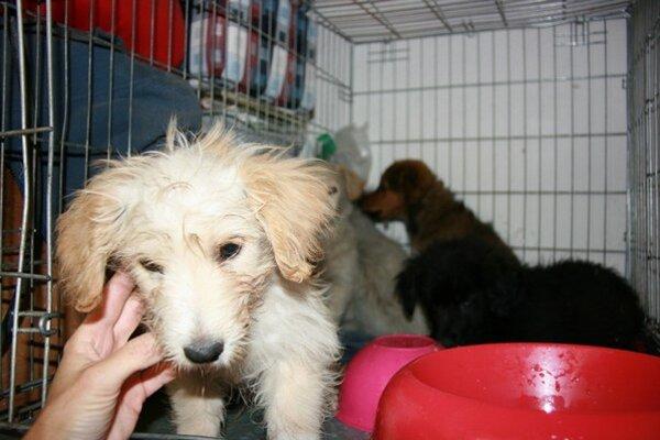 Karanténna stanica uvíta každú pomoc, hľadajú pre psíkov ochotných ľudí na dočasnú starostlivosť o šteniatka, zídu sa im aj granule.
