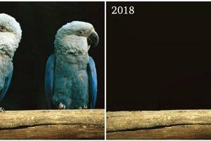 V roku 2018 vyhlásili za vyhynutú vo voľnej prírode aj aru sivomodrú. Pre odlesňovanie stratila miesto na život.