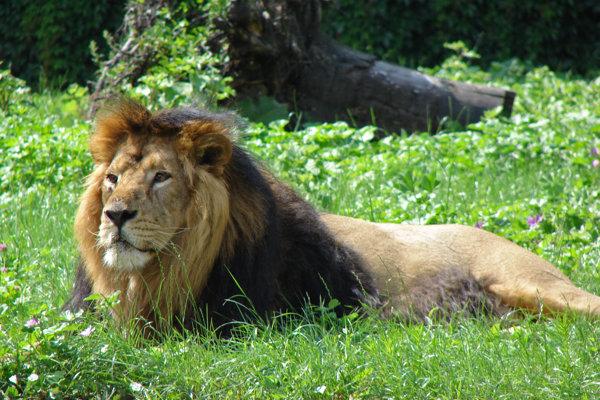 Lev perzský je kriticky ohrozený.