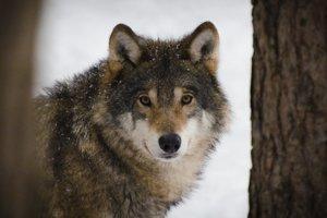 Vlk dravý je zatiaľ súčasťou našich lesov.