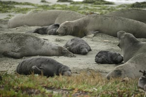 Na pláži, ktorú zavreli pre americký shutdown, sa usadilo zhruba 90 jedincov tuleňa slonieho.