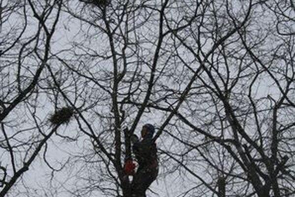 Mesto má výnimku na zhadzovanie hniezd, ktorá platí do jari tohto roka. Využíva ju a pracovníci Verejnoprospešných služieb hniezda zhadzujú.