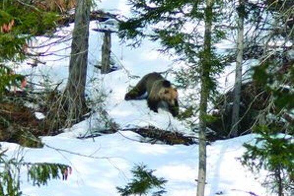 Medvede sa prebúdzajú zo zimného spánku.