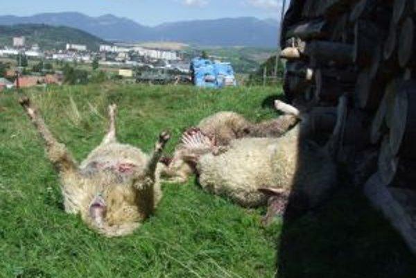 Obete vlčice, ktorá zrejme učila loviť svoje potomstvo. Scenár z minulého roka sa navlas zopakoval.