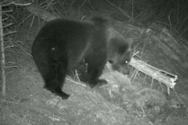 V posledných rokoch medvede chodia k ľudským obydliam čoraz bližšie.