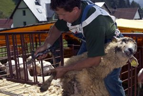 Najrýchlejší  strihači ostrihajú jednu ovcu za jeden a pol minúty.