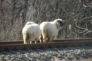 Ovce sa pohybovali aj po železničnej trati.
